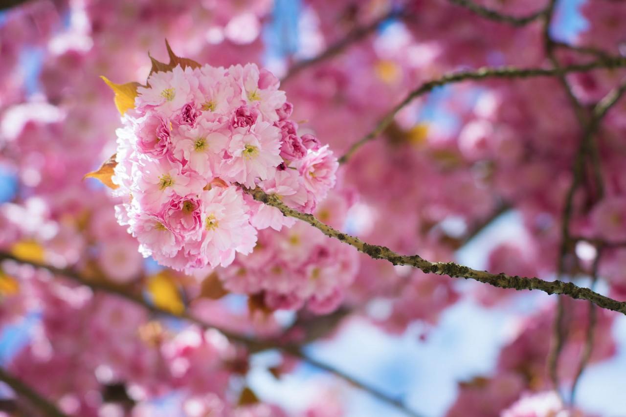 Kirschbaumblüte im Bötzowkiez